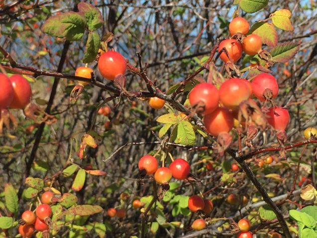Rose Hips at Birch Bay
